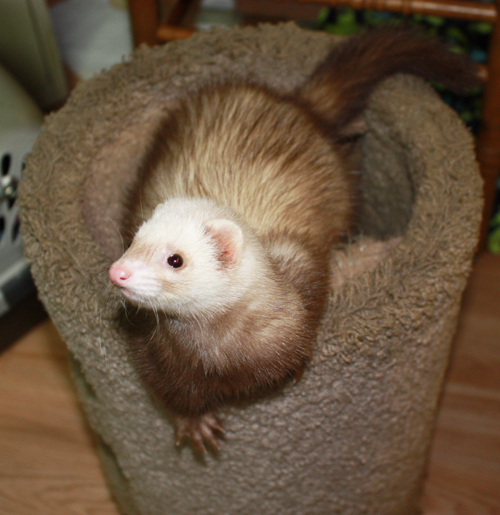 8742-Cinnamon-crop-500 | Hide-E-Hole Ferret Rescue Inc.: hide-e-hole.com/new-ferrets-old-ferrets-found-ferrets-bold-ferrets...