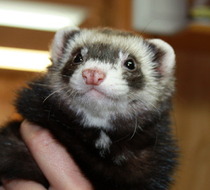 Happy Ferret