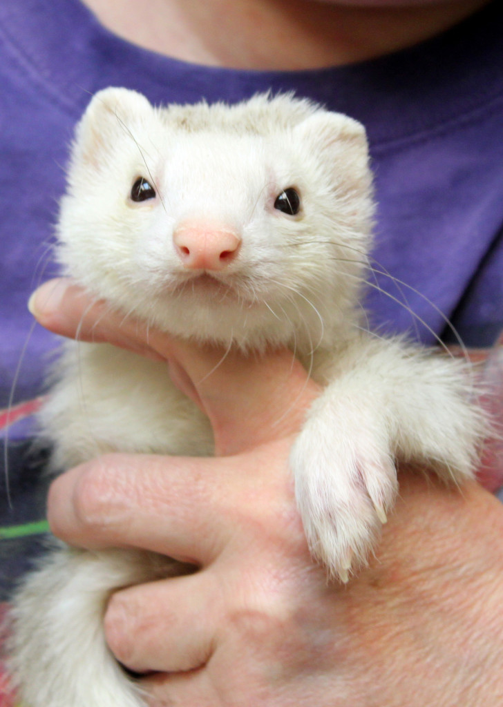 list of ferrets updated